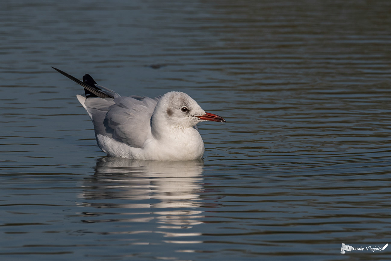 Mouette rieuse Yjpq