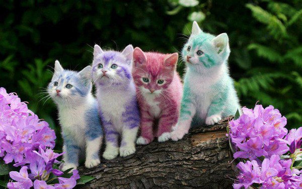 ---------------------------------------------------------------------chatons multicolores. sont-ils d'accord... dans animaux 30b7